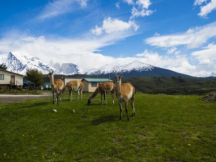 Chile, Patagonia, Torres del Paine National Park, Cerro Paine Grande and Torres del Paine, guanacos - AMF06138