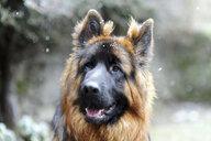 Close-up of German Shepherd looking away during snowfall - CAVF52491
