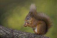 Eurasian red squirrel, Sciurus vulgaris - MJOF01605