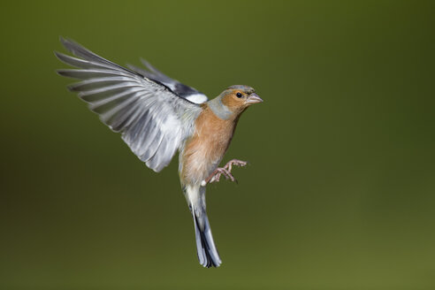 Male Chaffinch, Fringilla coelebs, flying - MJOF01606
