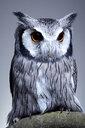 Studio portrait of a northern white faced owl (Ptilopsis leucotis) sanding on a branch - MINF09275