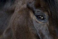 Close up of the head and bright eye of a brown bay horse. - MINF09389