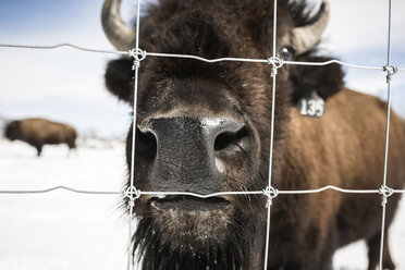 Close-up of American bison standing by metal grate on snow field - CAVF53344