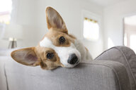 Close-up portrait of dog relaxing on sofa at home - CAVF53347