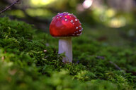 Flying agaric, Amanita muscaria, in forest - LBF02172