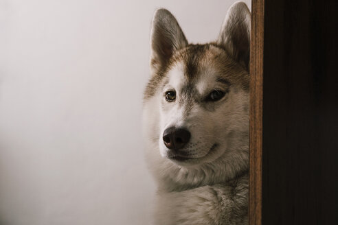 Close-up portrait of dog sitting by wooden plank against white wall - CAVF53937