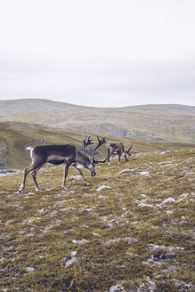 Two reindeers grazing at the North Cape, Norway - RSGF00092