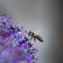 Nature shot of a bee pollinating on a purple flower - INGF06857
