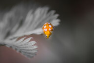 Close-up shot of a ladybug on a flower in the wild - INGF07120