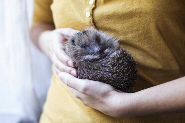 Woman's hands holding rolled up hedgehog - MAMF00217