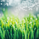 Fresh green grass with dew drops - INGF07179