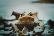 Close-up of frog looking into camera - INGF07257