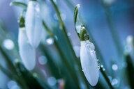 Spring flower closeup - INGF07314