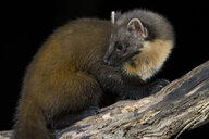 Pine marten sitting on tree trunk - MJOF01610