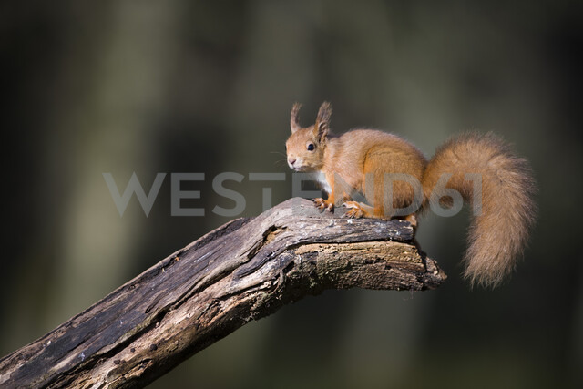 Portrait of Eurasian red squirrel on tree trunk - MJOF01616