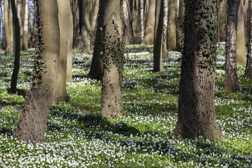 Germany, Mecklenburg-Western Pomerania, Warnemuende, Forest in spring - MELF00196