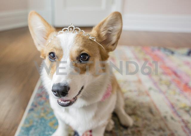 Close-up portrait of corgi wearing tiara sitting on carpet at home - CAVF54625