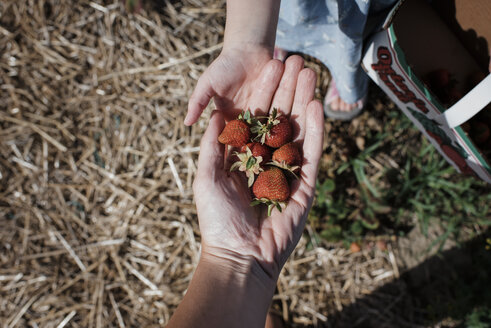 Cropped hand of mother giving strawberries to daughter at farm - CAVF54676