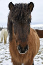 Portrait of Icelandic Horse standing on snowy field during winter - CAVF54922