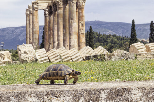 Greece, Athens, Olympeion, Hermann's tortoise walking in front of Temple of Zeus - MAMF00227