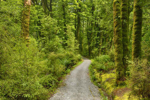 Footpath through rainforest. The Blue Pools walking track on the Haast Highway, South Island, New Zealand - RUEF02030