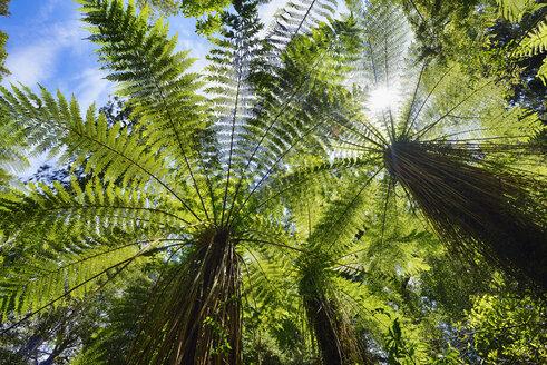 Tree ferns in temperate rainforest, West Coast, South Island New Zealand, New Zealand - RUEF02033