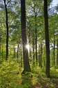 Vital green forest in spring with sun and sunbeams, Westerwald, Rhineland-Palatinate, Germany - RUEF02036