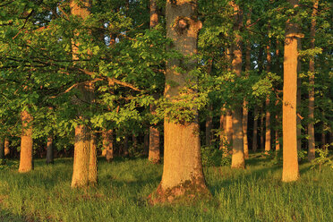 Early morning sun in forest on old oak trees, Bavaria, Germany - RUEF02051