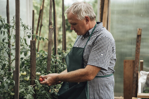 Gardener in greenhouse holding tomatoes - VPIF01104