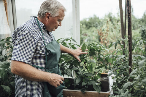 Mature man, gardener in greenhouse - VPIF01107