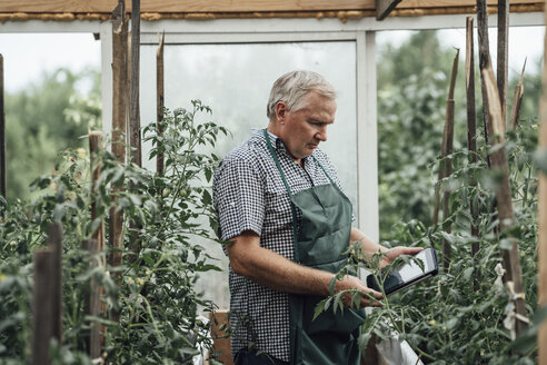 Mature man, gardener in greenhouse using digital tablet - VPIF01113