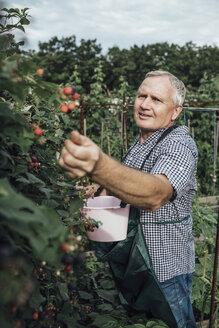 Gardener harvesting berries in garden - VPIF01116