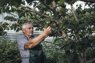 Gardener looking at apple tree in garden - VPIF01122