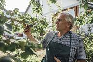 Gardener looking at apple tree in garden - VPIF01125