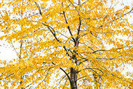 Tree with yellow autumn leaves, partial view - HMEF00088