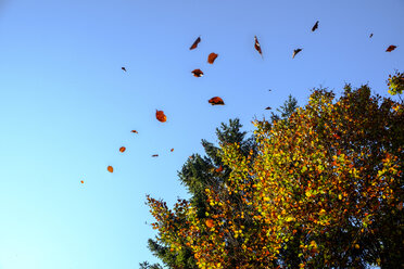 Germany, falling leaves in autumn - LBF02252