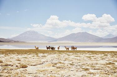 Chile, Salar del Carmen, alpacas at salt lake shore in front of Andes - SSCF00028