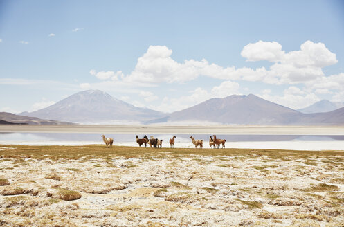 Chile, Salar del Carmen, alpacas at salt lake shore in front of Andes - SSCF00028