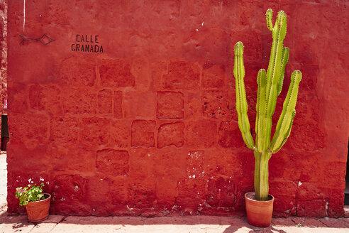 Peru, Arequipa, red wall with cactus at Santa Catalina Monastery - SSCF00058