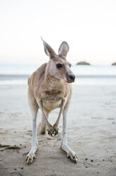 Australia, Queensland, Mackay, Cape Hillsborough National Park, portrait of kangaroo on the beach - GEMF02542