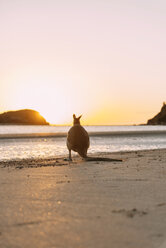 Australia, Queensland, Mackay, Cape Hillsborough National Park, back view of wallaby on the beach at sunrise - GEMF02548