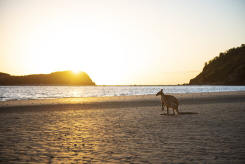 Australia, Queensland, Mackay, Cape Hillsborough National Park, kangaroo on the beach at sunrise - GEMF02551