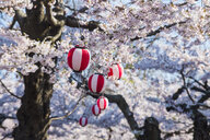 Hokkaido, Hakodate, Paper lantern hanging in the blooming cherry trees - RUNF00226