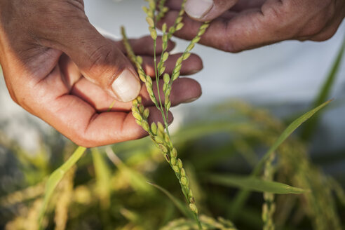 High angle close up of farmer holding rice plant in his palm. - MINF09648