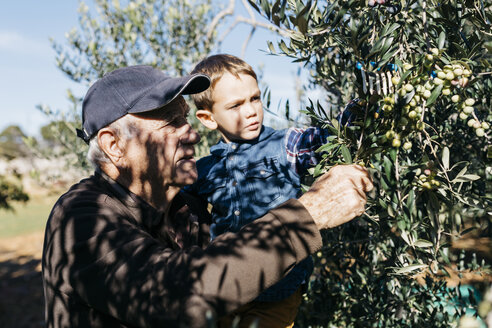Senior man and grandson picking olives from tree - JRFF02124
