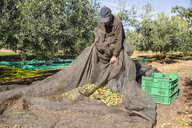 Senior man harvesting olives in orchard - JRFF02130