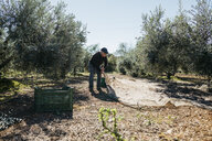 Senior man harvesting olives in orchard - JRFF02136