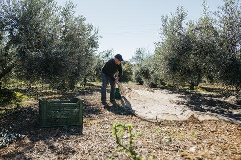 Senior man harvesting olives in orchard - JRFF02136