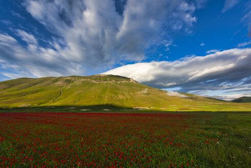 Italy, Umbria, Sibillini National Park, Blooming flowers on Piano Grande di Castelluccio di Norcia - LOMF00747