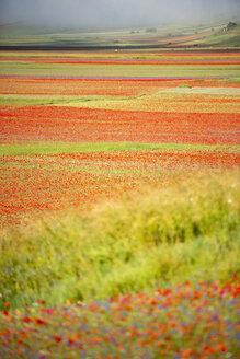 Italy, Umbria, Sibillini National Park, Blooming flowers on Piano Grande di Castelluccio di Norcia - LOMF00759
